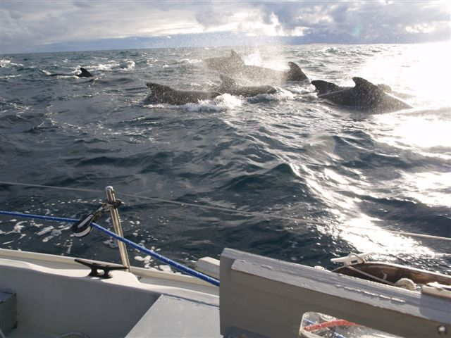 Pilot whales 130 miles west of Ireland