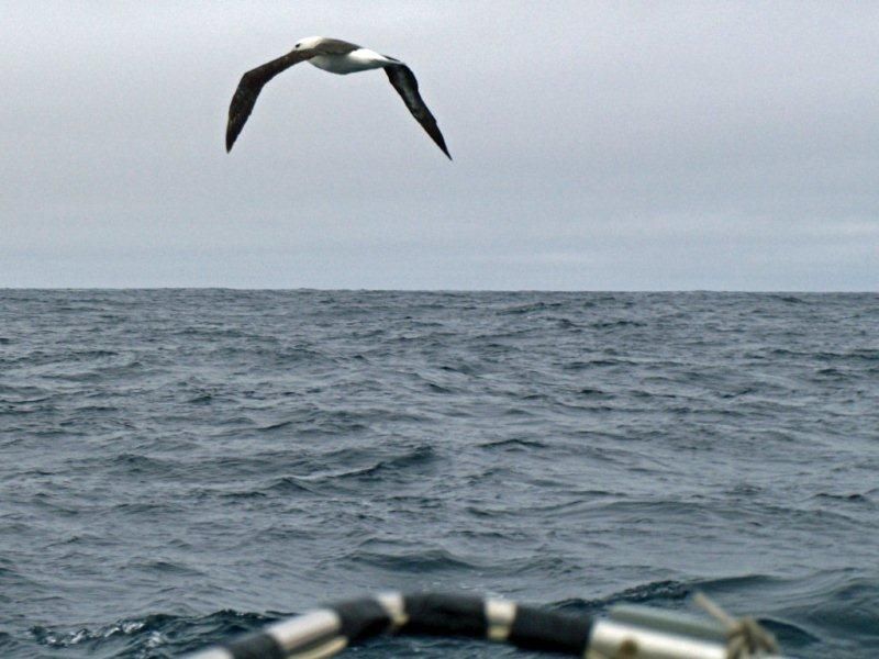 Mingming meets a black-browed albatross